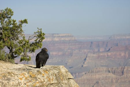 Endangered California condor perched on a rock at the Grand Canyon Stock Photo