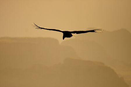 Endangered California condor silhouette