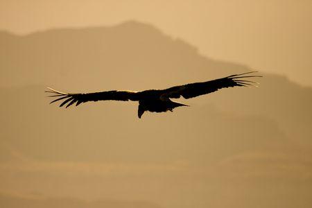 beak vulture: Endangered California condor silhouette