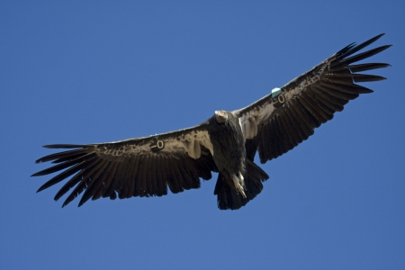 talons: Endangered California condor flying