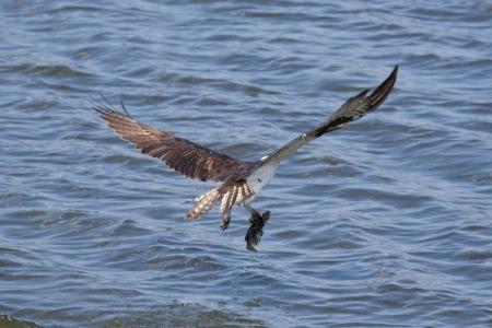 Osprey (Pandion haliaetus) with a captured fish