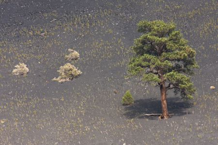 hardened: Lone tree growing in hardened lava at the Sunset Crater National Monument Stock Photo