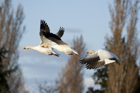 Snow geese (Chen caerulescens) flying