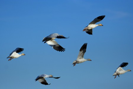 Flock of snow geese (Chen caerulescens) flying Stock Photo