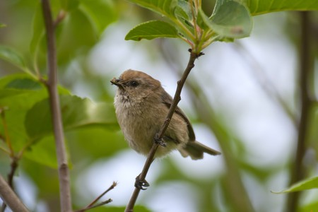 Bushtit perched on a tree branch