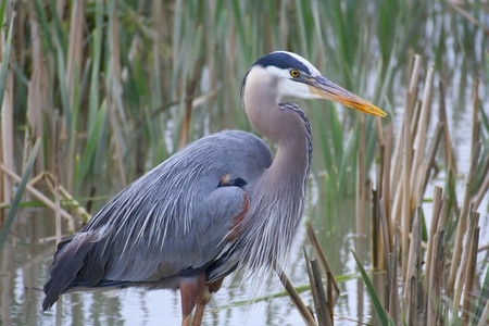 Great blue heron (Ardea herodias) Stock Photo - 8072192