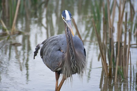Great blue heron with water in the background photo