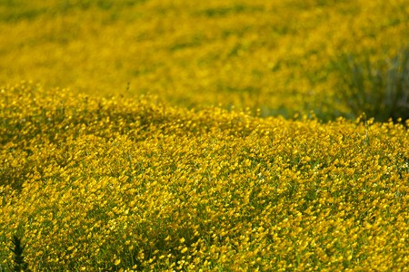 Buttercup flowers blossoming on a field 版權商用圖片