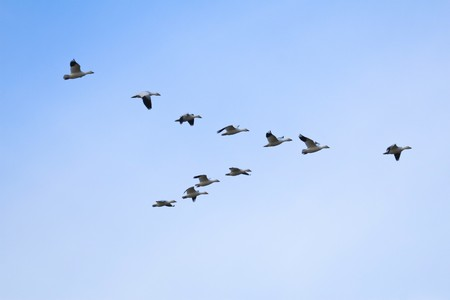 Flock of snow geese (Chen caerulescens) flying in a formation Stock Photo