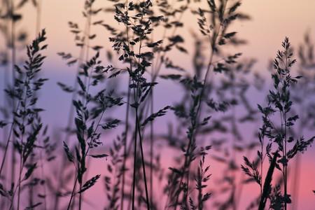 Dusk grass silhouette