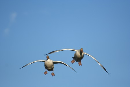 Pair of snow geese (Chen caerulescens) flying Stock Photo
