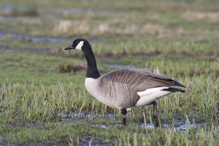 Canada goose in grass and mud