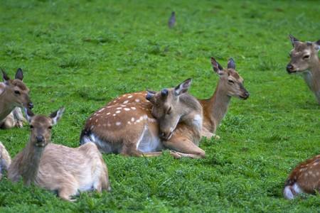 odocoileus: Black-tailed deer (Odocoileus columbianus) deer on a field