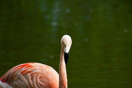phoenicopterus: Flamingo cileni (Phoenicopterus chilensis)