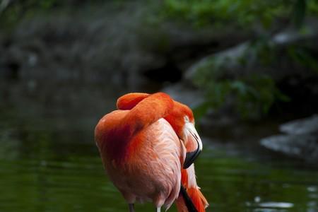 phoenicopterus: American Flamingo (Phoenicopterus ruber)