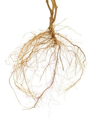 raices de plantas: Las ra�ces de una planta de tomate con un fondo blanco Foto de archivo