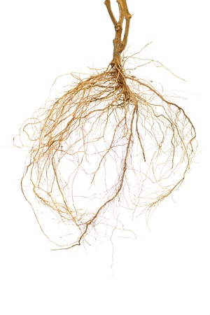 Roots of a tomato plant with a white background Stock Photo