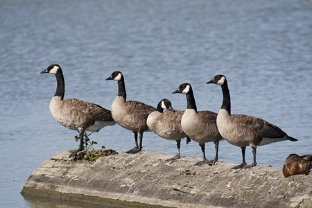 Flock of Canada Geese perched on a log Stock Photo