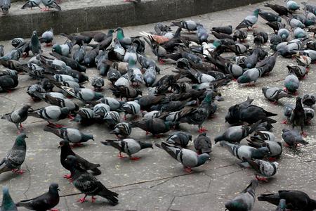 pidgeon: Pigeons in park Stock Photo