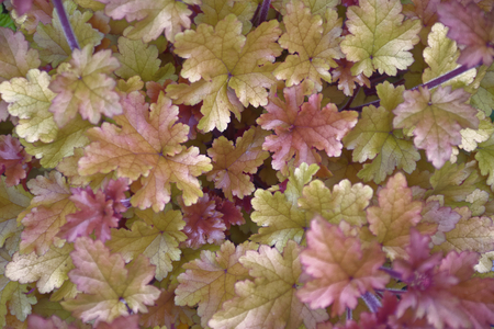 variously: garden plant with variously colored leaves Stock Photo