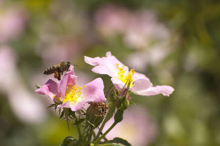 The bee is landing on pink flower of dog rose Stock Photo - 16605023