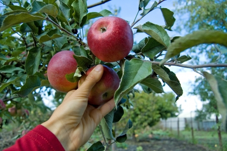 Human hand is picking an apple from apple tree photo
