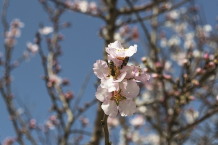 almond flower in natural light photo