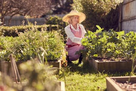 Hogere vrouw onder de opgeheven bedden in haar moestuin die op de kwaliteit van het voedsel controleren dat wordt geproduceerd Stockfoto