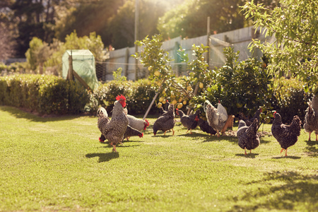 Group of chickens walking around a green lawned garden on a free range urban farm, with gentle sunlight