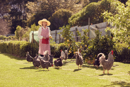one animal: Full length shot of a smiling senior woman in hat and apron, standing in her backyard with a group of healthy looking free range chickens, on a sunlit morning Stock Photo