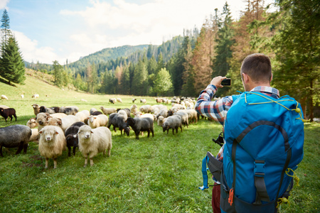 Young hiker photographing sheep in the countryside