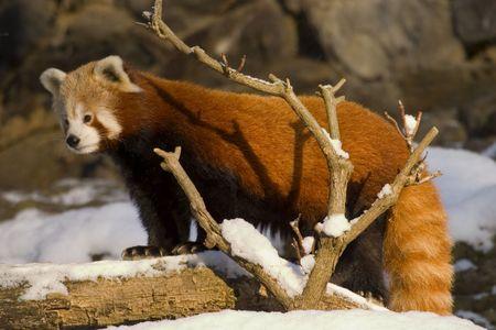 panda bear: Red panda (Ailurus fulgens)