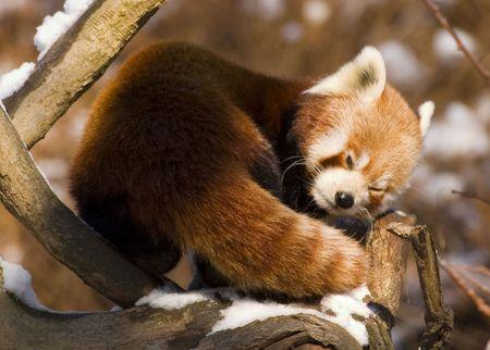 Red panda (Ailurus fulgens) photo