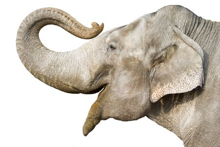 big ear: head of elephant