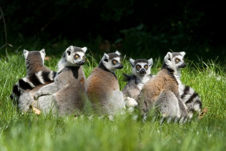 ring tailed: Group of ring tailed lemurs (lemur catta)