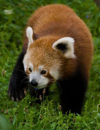 Firefox walking photo