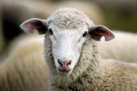 face shot of ewe sheep Stock Photo