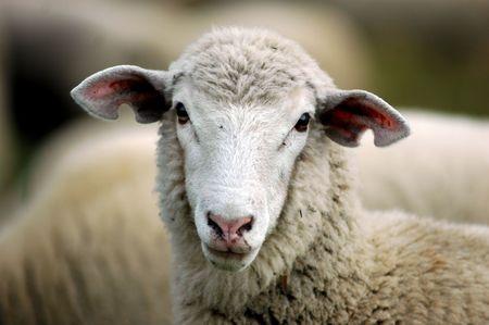 pecora: volto girato di pecora pecora