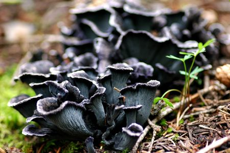 chanterelle: blue chanterelle mushrooms in situ