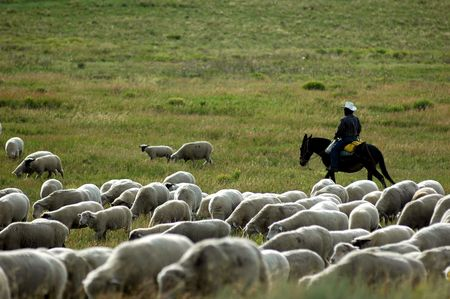 working cowboy: modern sheppard with his flock Stock Photo
