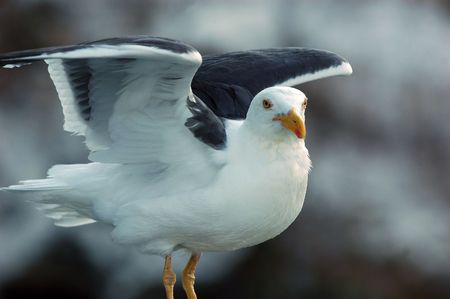 flexed: balanced seagull posing with wings flexed