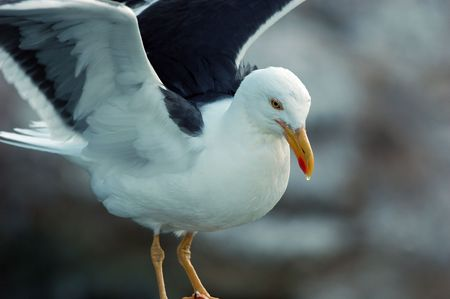 flexed: large seagull balanced on perch wings flexed bead of water on end of beak Stock Photo