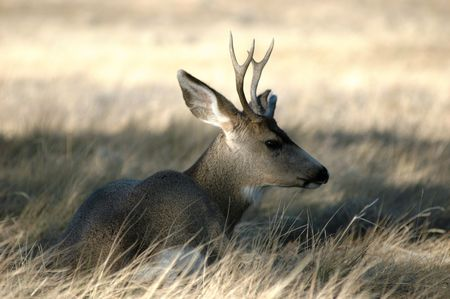 juvenile male deer laying in grassy meadow Stock Photo
