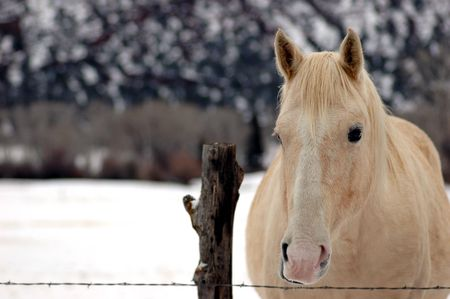 portrait of blonde mare horse with copy space on left half of frame