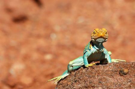 close up of aqua green collared lizard on rock