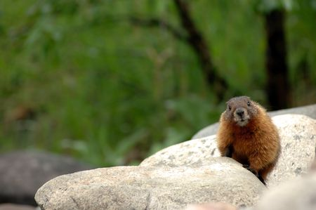 Marmot on rocks looking directly at camera Stock Photo
