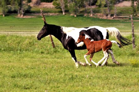 pan shot of mare & foal running side by side in green pasture