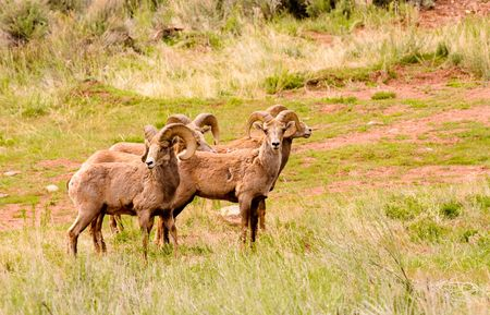 Small herd of Rocky Mountain Big Horn Sheep Stock Photo