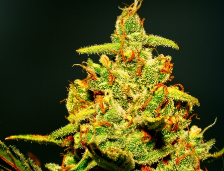 isolated marijuana flower with glistening trichromes