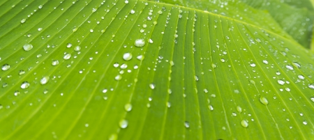 Natural raindrops at banana leave photo